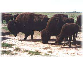LCL Buffalo Ranch