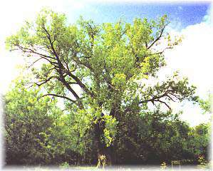 Previous State Champion Cottonwood Tree