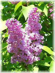 The Lilacs of Meadowlark Hill