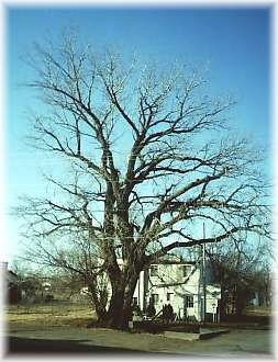 Beaver County's Oldest Tree