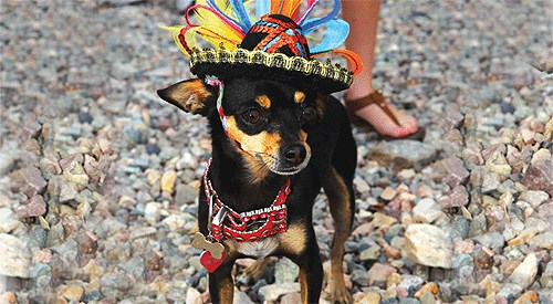 Annual Cinco de Mayo Chihuahua Races & Social Event