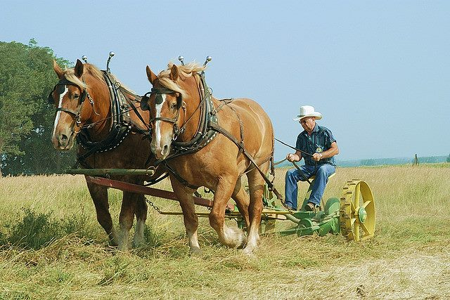 Haying with horses