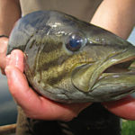 Tips for smallmouth Bass